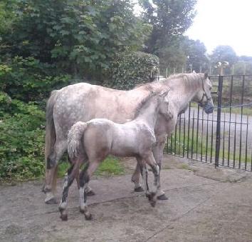 Colt foal by Capparoe Lad