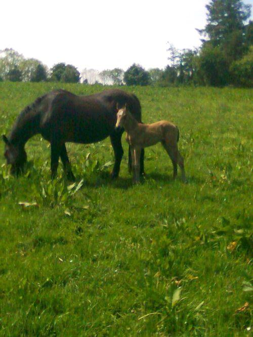 Ballyard Eda and Colt foal by Maam Hero