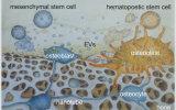 Osteoclast and osteoblast.