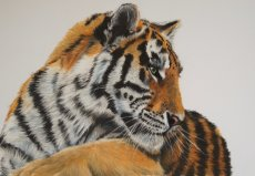 """Amur Tiger"""