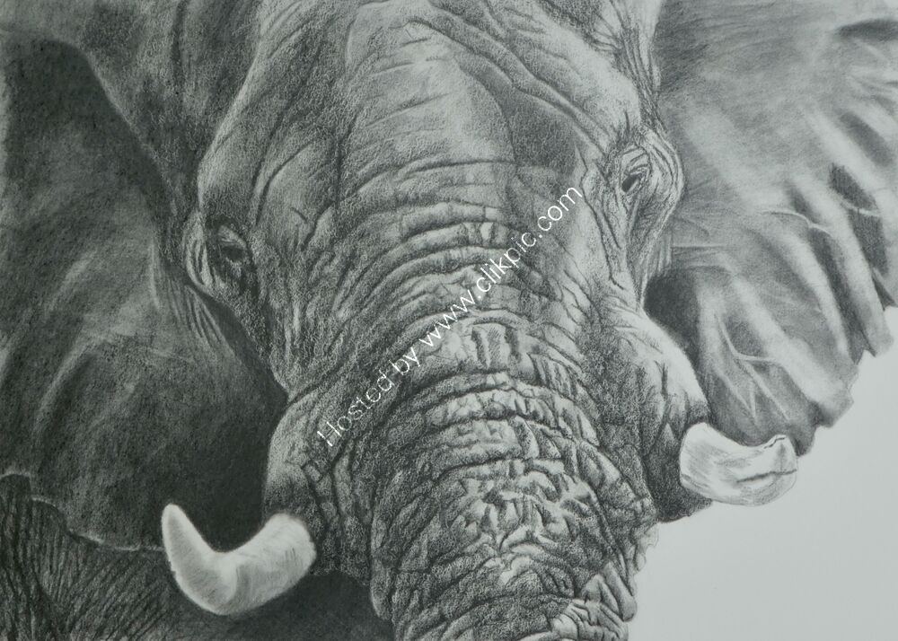 African bull elephant in graphite