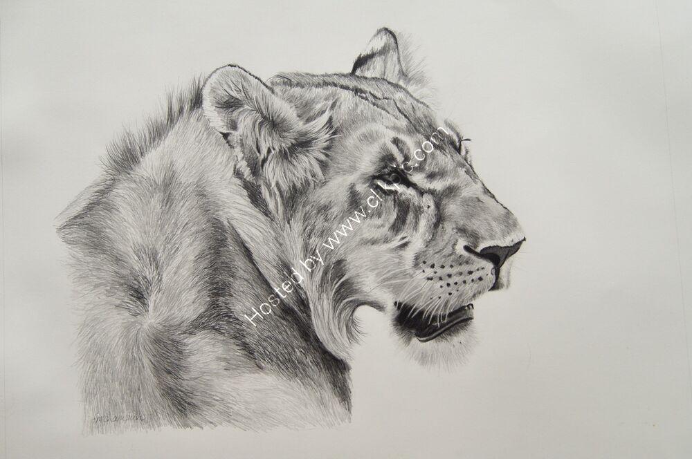 Lioness graphite pencil