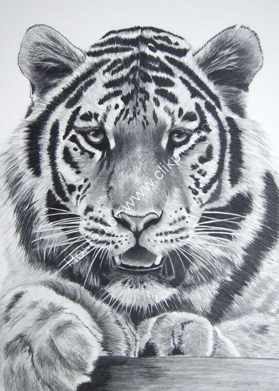 Amur tiger portrait face on in graphite