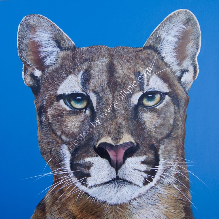 Mountain Lion, Puma Cougar face on blue background