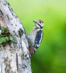 Great Spotted Woodpecker Dendrocops  major
