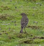 Pipit, Anthus protensis
