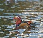 Mandarin Duck; Male; Aix; galeryiculata