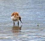 Avocet; Recurvirostra; avosetta