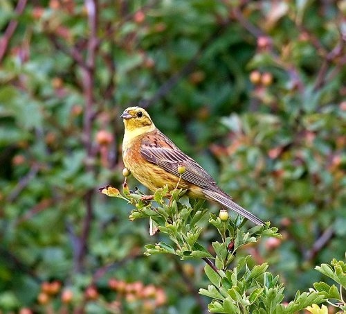 Yellowhammer; Emberiza; citrinella