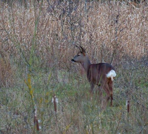 Roe Deer, Capreolus, capreolus