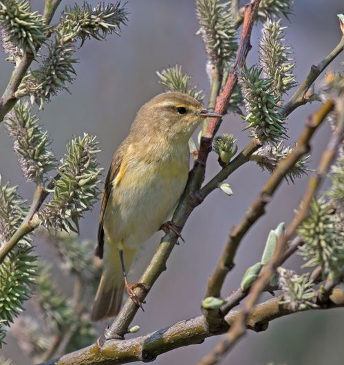 Willow, Warbler, Phylloscopus,trochilus