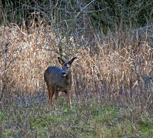 Mammal,Roe, Deer, Capreolus, capreolus