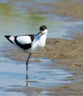 Avocet Recurvirostra avosetta