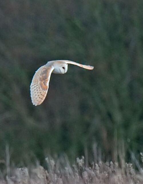 Barn Owl, Tito aplba