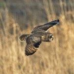 Short Eared Owl; Asio; flammaus
