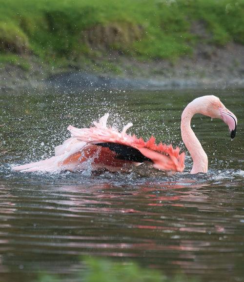Greater, Flamingo, Phoenicopterus, ruber
