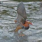 Mandarin Duck Aux galeryiculata