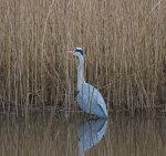 Grey Heron, Andea cinerea