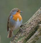 Robin; Erithacus; rubecula
