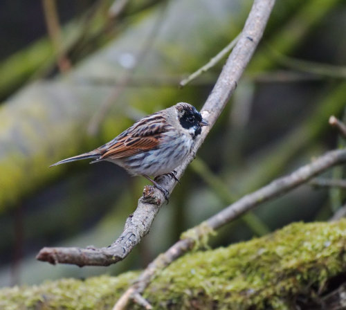 Reed Bunting ,
