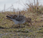 Common Snipe; Gallinago gallinago