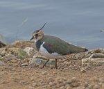 Lapwing; Vanellus vanellus