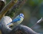 Blue Tit Cyanistes caerules