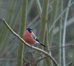 Male Bullfinch, Pyrrhula pyrrhula