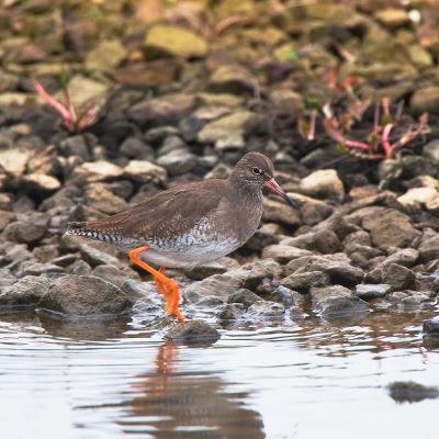 Redshank Tringa totanus