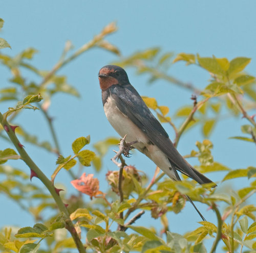 Swallow; Hirundo; rustica