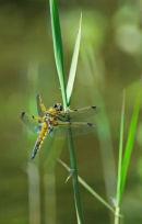 Dragonfly Libellula quadrimaculata