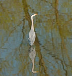 Grey; Heron; Ardea;cineria