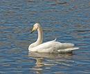 Whooper Swan; Gygnus cygnus