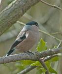 Bullfinch; Pyrrhula pyrrhula