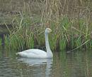 Whooper Swan; Cygnus cygnus