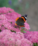 Butterfly Red Admiral Vanessa atalanta