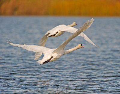Mute Swan; Cygnus olor