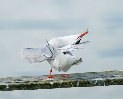 Common Tern; Sterna hirundo