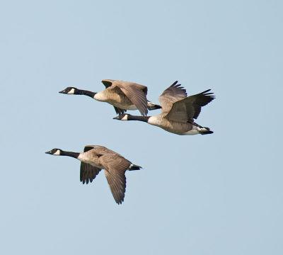 Canada Geese; Branta canadensis