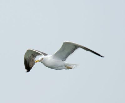 Herring Gull; Larus orgentatus
