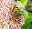Butterfly; Small Tortoiseshell; Aglais urticae