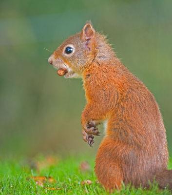 Red Squirell; Scivrus vulgaris