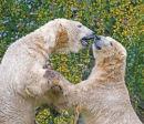 Polar Bears;Ursus maritimus