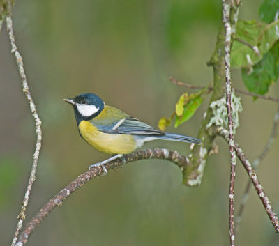 Great Tit; Parus Major
