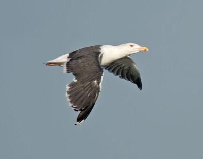 Great Black Back Gull; Larus marinus