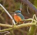 Kingfisher; Alcedo atthis