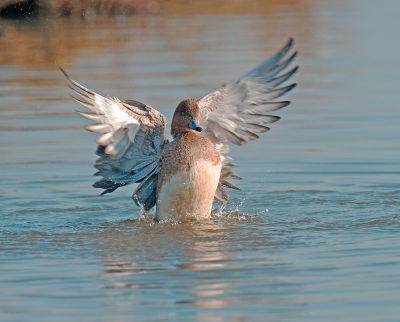Wigeon; Anas ponelope