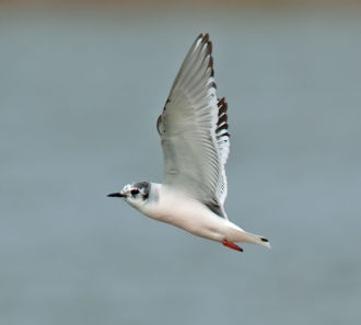 Little Gull; Hydrocoloeus minutus