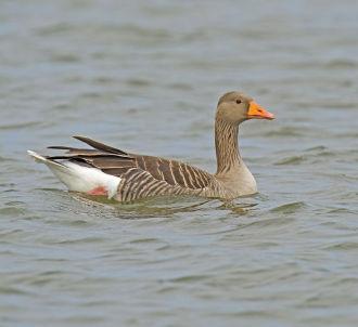 Greylag Goose; Anser anser