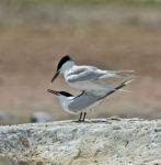 Sandwich ;Tern; Sterna sandvicensis